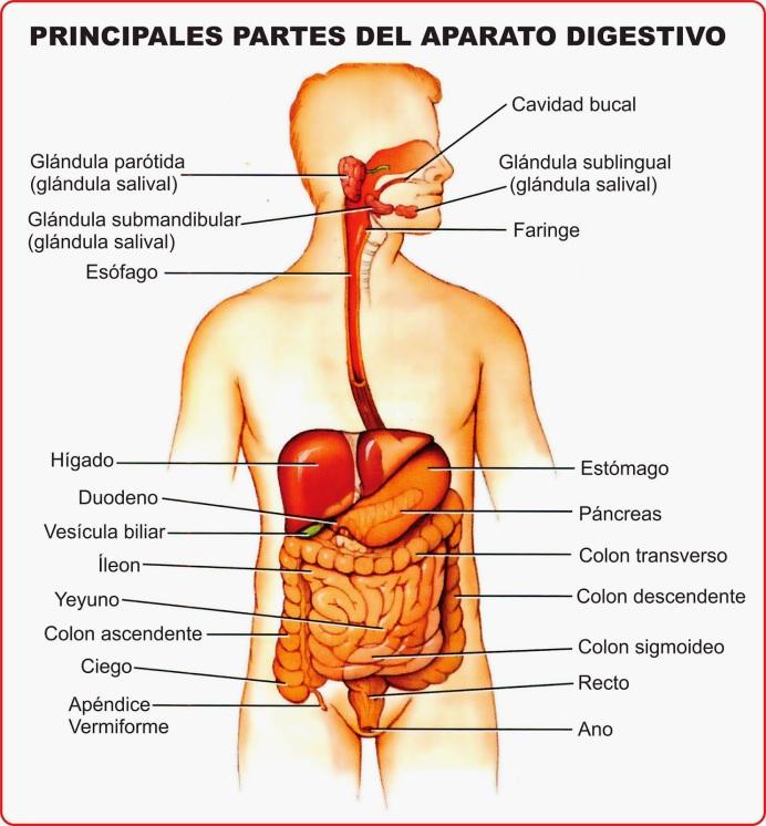 El aparato digestivo, recursos educativos para niños | EL BLOG DE ...